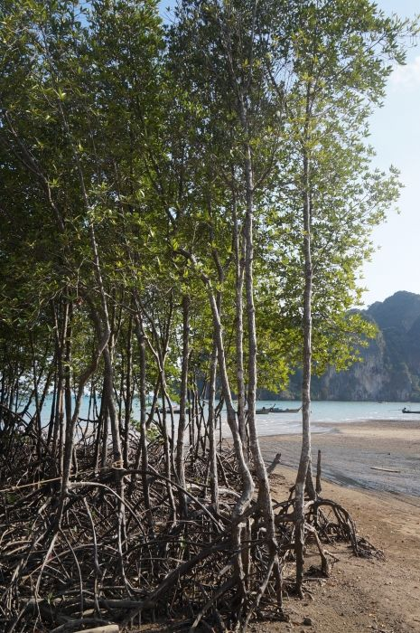 Railay East Trees in Water