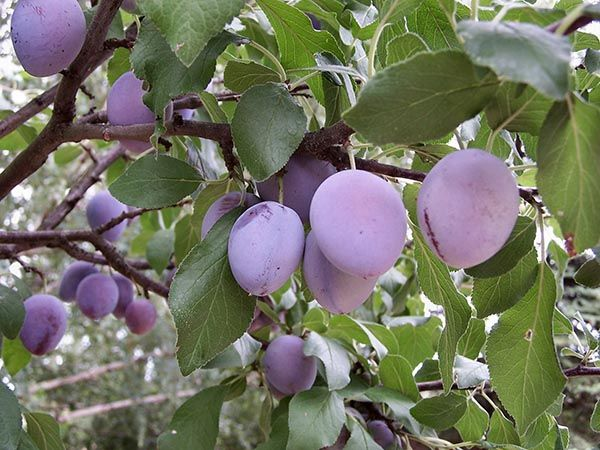 Helpful tips for the selection, planting, care, and harvesting of plum trees if you've decided to have a go at growing plums.data-pin-do=