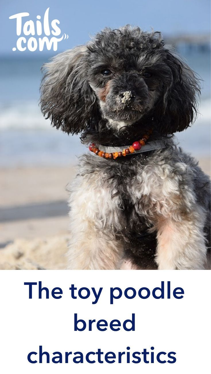 The Toy Poodle Is The Smallest Of The Poodle Breeds And Is Popular