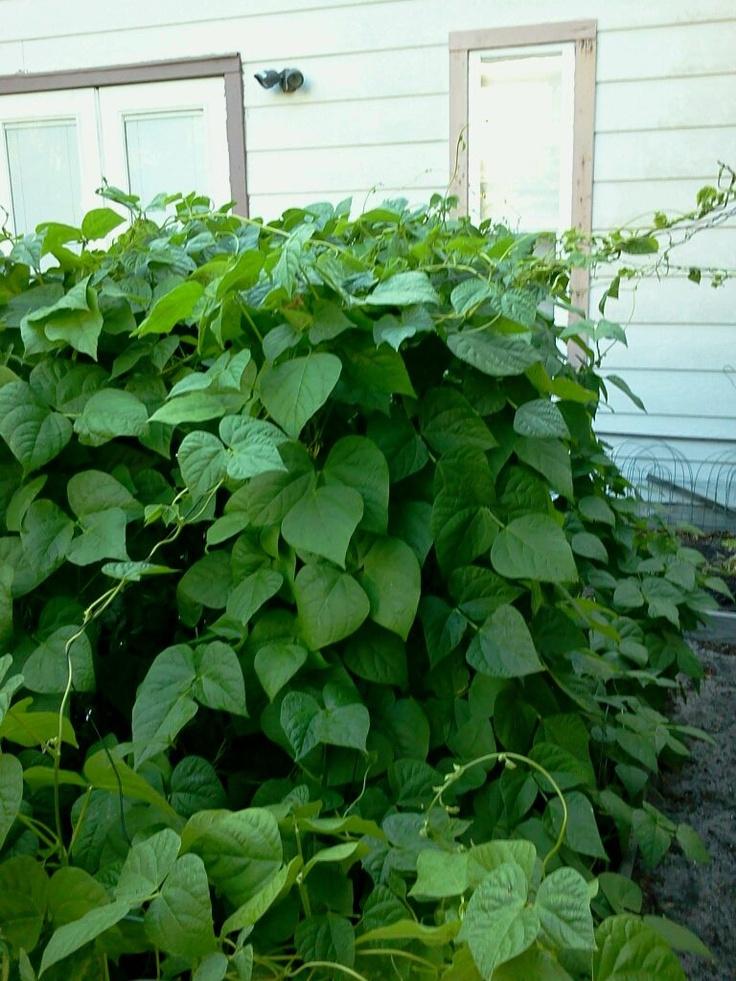 how to grow pole beans