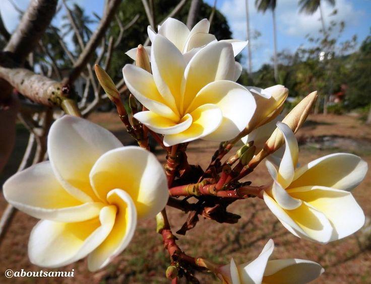 Нежные цветы франжипани  Frangipani flowers on Koh Samui