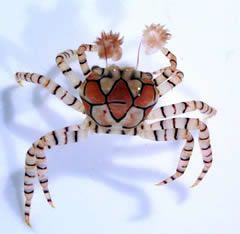 Boxer Crab - AKA Pom Pom Crab