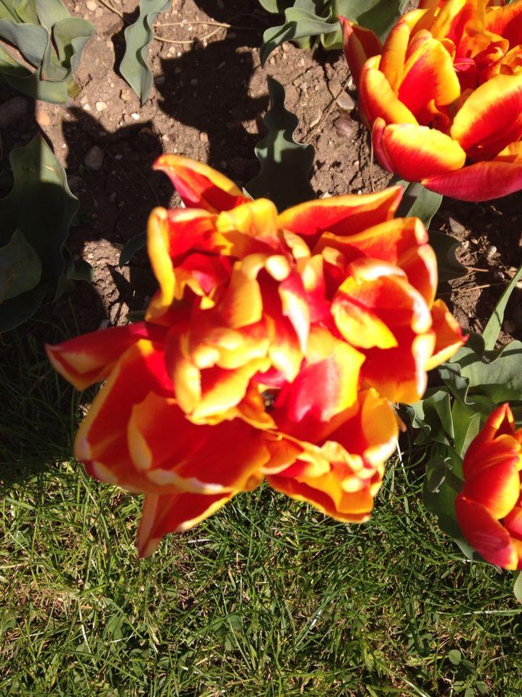 Tulipani parco sigurta'