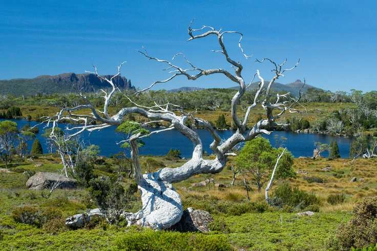Twisted snow gum at Lake Windermere - The Overland Track in Tasmania