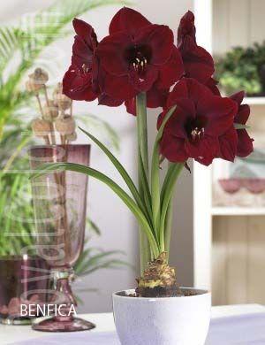 17 best images about amaryllis on pinterest apple. Black Bedroom Furniture Sets. Home Design Ideas