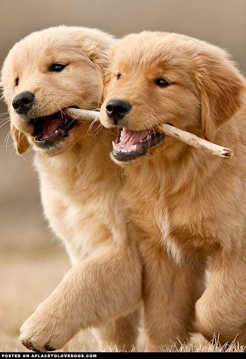 Adorable Golden Retriever Puppies .