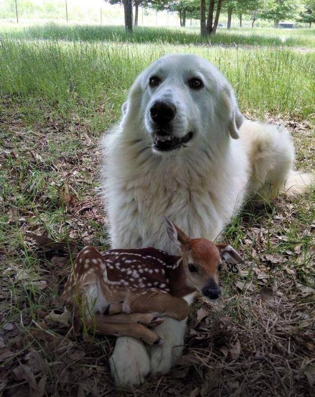 Great Pyrenees & Fawn