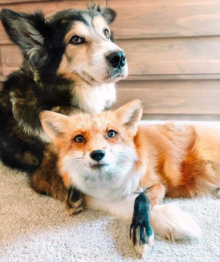Собака и лис картинки