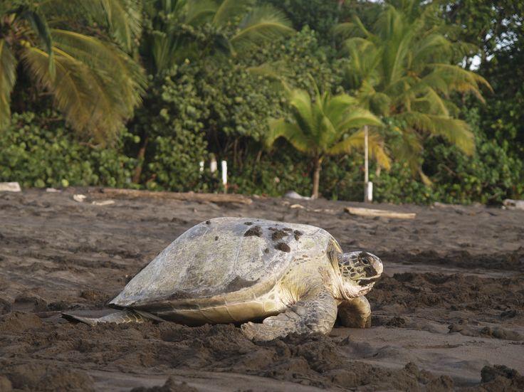 Her findes mere end 300 fuglearter, 30 forskellige ferskvandsfisk, 3 abearter, tapirer, frøer, jaguarer, dovendyr, søkøer, krokodiller og kaimaner samt 4 ud af Costa Ricas 7 skildpaddearter, som har givet nationalparken sit navn.