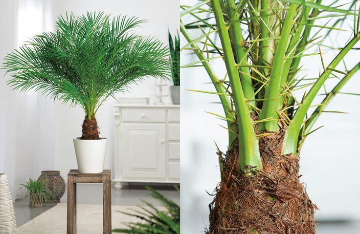 6x grote kamerplanten als blikvanger. #kamerplant  #wonen #dwergdadelpalm #phoenix #roebelenii