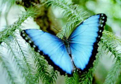 .: Beautiful Butterflies, Blue Butterflies, Wings, Colors, Morpho Butterflies, Butterflies Pictures, Intricate Beautiful, Blue Morpho, Butterflies Beautiful