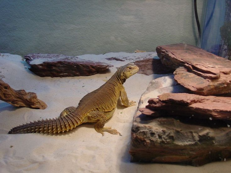 Awesome Uromastyx Cage Setups Google Search Uromastyx