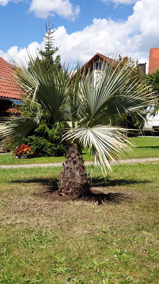 Brahea Armata Ausgepflanzt In Deutschland Palmenarten Pflanzen Winterhart