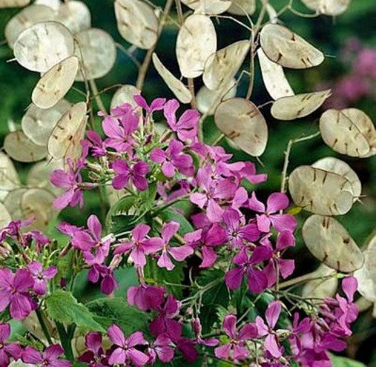 "VIOLET MONEY PLANT IS KNOWN BY SEVERAL DIFFERENT NAMES, IT'S CALLED ""LUNARIA"" BECAUSE THE PAPERY SEED PODS LOOK LIKE THE FULL MOON. IT ALSO GOES"