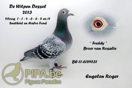 """Roger Engelen (Dessel, BE) heeft met zijn crackduif """"Pastoor"""" een nieuwe Olympiadeduif in huis!   PIPA"""