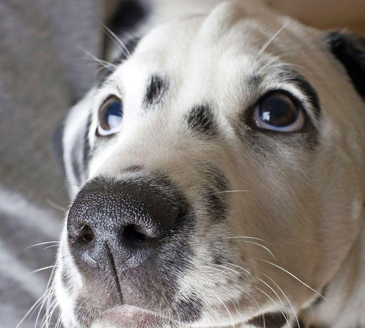 Ögonsjukdomar blir allt vanligare hos våra hundar. Kontrollera därför din hunds ögon regelbundet.
