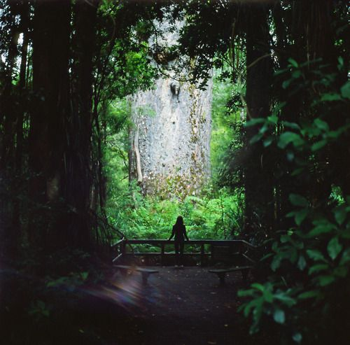 Te Matua Ngahere. Kauri Coast. New Zealand