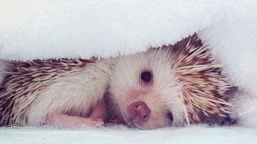 Immagine di sleep, curly, and hedgehog