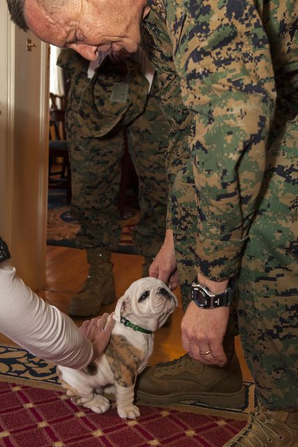 Chesty has arrived at the Marine Barracks in Washington, D.C.! Chesty XIV will become the new mascot of the Marine Corps on March 29, 2013 with the rank of Pfc. However, Chesty must first go through recruit training before earning the title of Marine as well as obedience training before joining the ranks of his 13 [Chesty] predecessors.