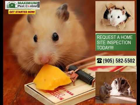 Fully Bonded & Insured Burlington Ontario Mice Control http://ift.tt/1eIZPl4 (905) 582-5502 or (289) 396-5426 . Unmarked Vans. Safe & Effective. Expert University Technicians.  Discover the most effective approaches to handle all residential mice invasions in your house as well as just how Burlington Ontario mice removal MaximumPestControlServices Oakville - Burlington Ontario could assist maintain the mouse and other rodents outdoors using their all year protection residential pest control…