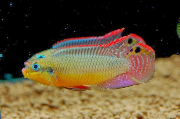 The Cichlid Fish Has A Very Colorful Appearance Which