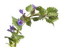 Hondsdraf (Glechoma hederacea) is een kruipende vaste plant, deze herken je aan de violetgekleurde bloemen. De lange uitlopers kruipen overal tussendoor. Je moet dit onkruid met wortel en al verwijderen. Dat gaat gemakkelijk door middel van wieden, schoffelen of hakken.