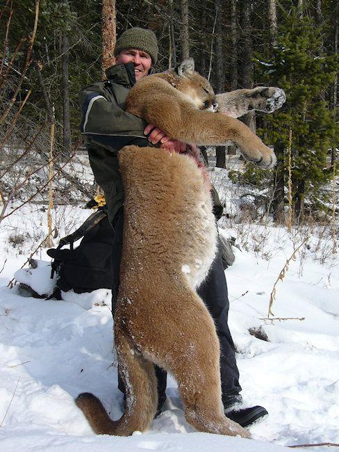 Big Cougar Puma Mountain Lion That Would Make A Beautiful