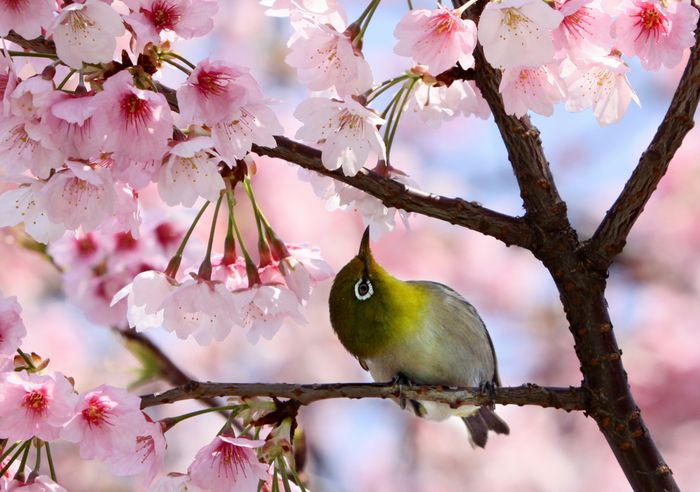Tokyo: Cherries Blossoms, Japan, Chelsea Flower Show, Cherries Trees, Parks, Trees Branches, Animal Track, Blossoms Trees, Birds