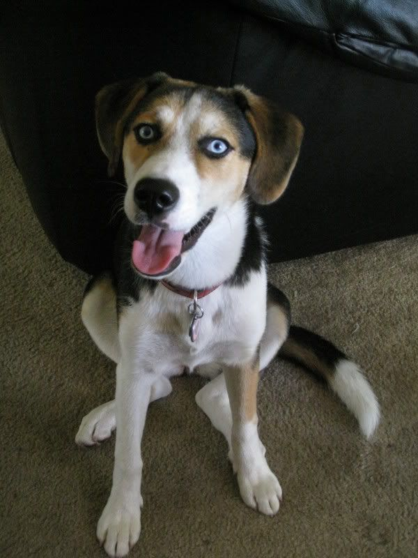 beagle husky mix - Google Search