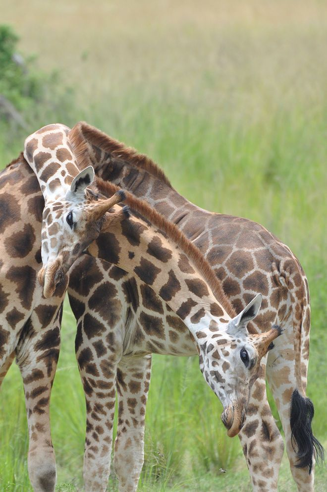 "Nubian giraffe bulls engage in a bout of ""necking"" — a type of combat using their necks as weapons — in Murchison Falls National Park in Uganda. This subspecies is now thought to belong to the northern giraffe species."