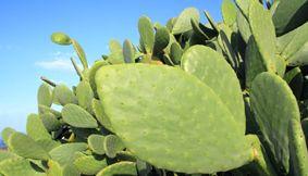 Zoom sur le Nopal, incontournable de la Minceur !  Les propriétés de ce petit cactus mexicain ont été démontrées par des études scientifiques. Pris avant les repas, il procure une sensation de satiété, c'est un coupe-faim naturel !