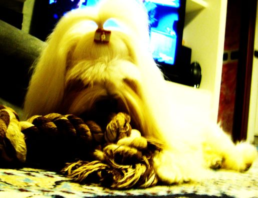 Toelettatura maltese ~ I searched for haircuts for maltese dogs images on bing and found