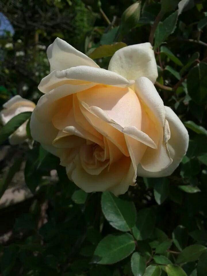 57 best images about earth kind roses on pinterest. Black Bedroom Furniture Sets. Home Design Ideas
