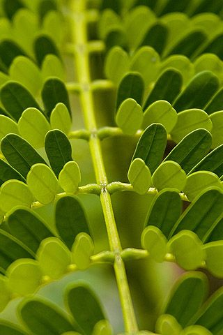 FrondIphone Wallpapers, Leaf Details, Leaf Pattern, Colors, Green Stem, Leaves, Jelly Beans, Art In Nature, Pattern In Nature