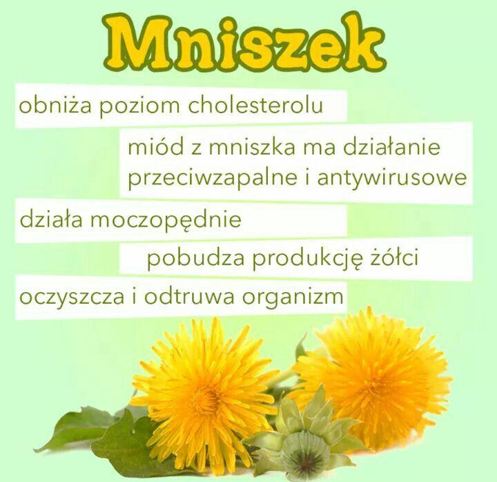 Mniszek lekarski rośnie dziko w całej Polsce. Nie tylko pięknie wygląda, ale ma też wspaniałe właściwości zdrowotne.