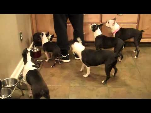 My Herd of Boston Terriers Monkeying around.  Including a cameo of my foster, Daisy, from Boston Terrier Rescue of East TN.