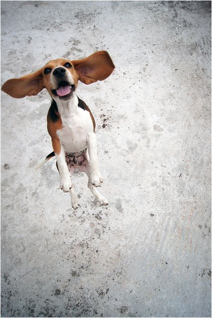 892 Best Images About Beagles On Pinterest Beagles