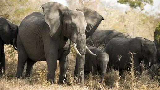 Se elefanter på safari i Sør-Afrika - Safari in South-Africa  http://travels.kilroy.no/destinasjoner/afrika/sor-afrika/safari