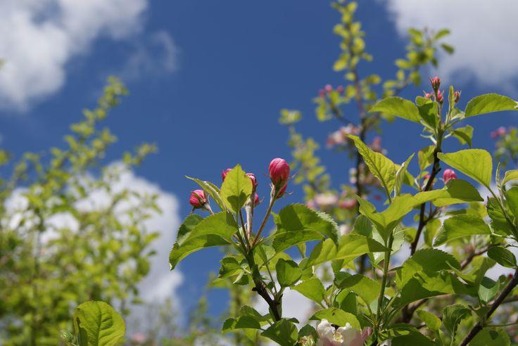 Mooie appelbloesem in onze tuin