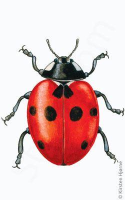 Mariehøne, syvplettet - Cocconella septempunctata - Seven-spot Ladybird