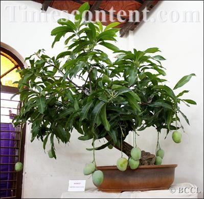 how to grow mango indoors