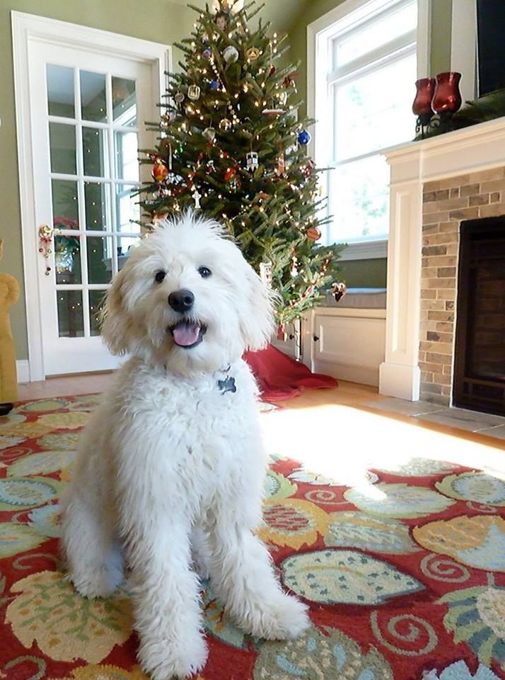 English Goldendoodle Moss Creek Goldendoodles