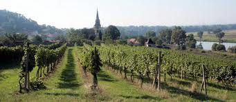 vinice V.Žernoseky