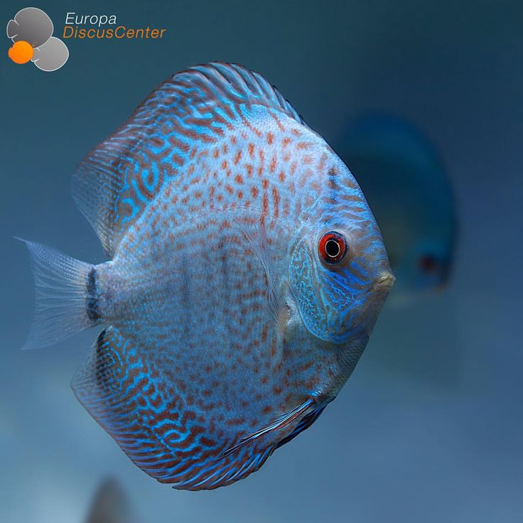 116 best images about discus on pinterest cichlids the for Blue freshwater fish
