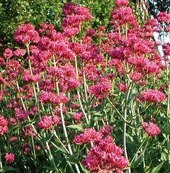 Centranthus ruber 'Coccineus' - Spornblume