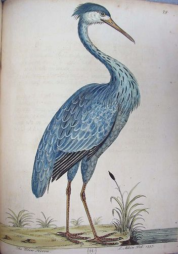Blue Heron illustration by Eleazar Albin, from A Natural History of Birds, London, 1731-38