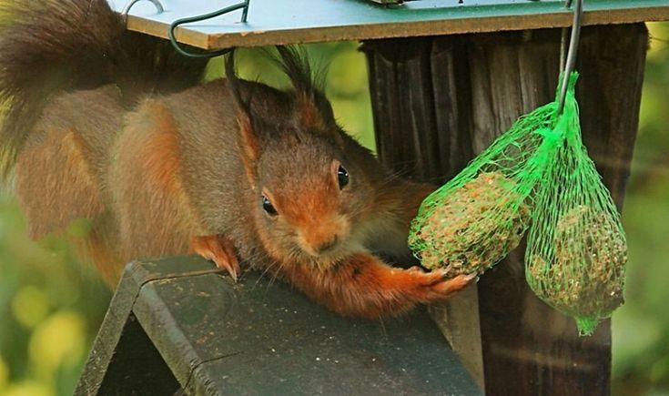 Eekhoorn - Zoogdieren (bever, vos, muis) -