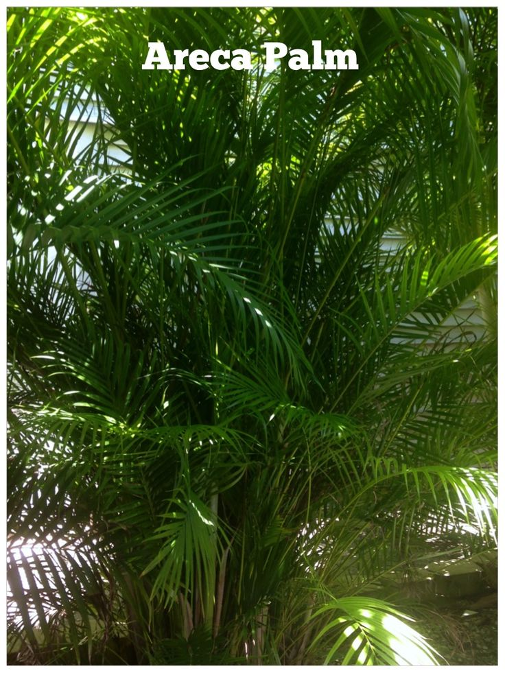 """Areca Palm: the most popular and cost effective privacy screen for a natural tropical garden look. Areca Palms throw out new shoots and quickly grow into perfect """"walls"""" for outdoor rooms - dense low new growth with palm fronds over head blowing in the breeze and casting just enough shade for your seating area. Easy to trim into your desired shape and density."""
