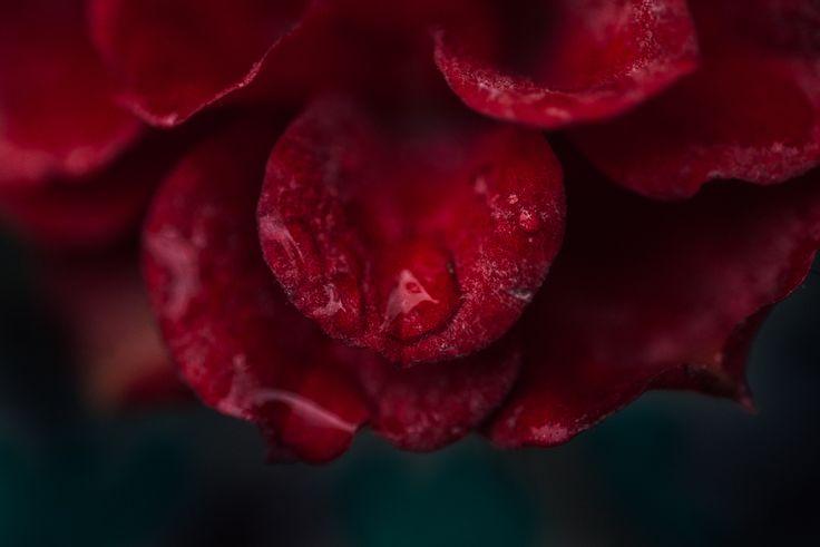 Winter Rose by Ebony Logins www.redcedarphoto.com
