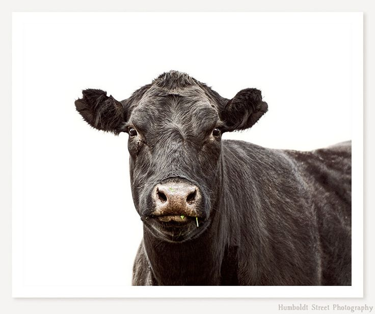 Cow - Cow Art Photograph - Animal Photography - Animal Portrait Photo - Farm Art Print - Kids Wall Art - Monochromatic Art by HumboldtStreet on Etsy
